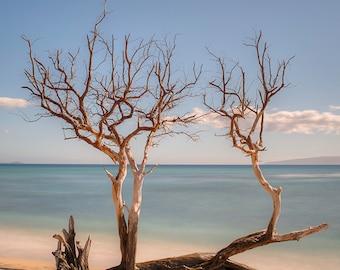 Driftwood Trees, Lahaina, Maui, Hawaii (Color)