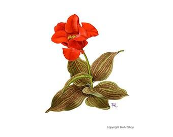 greigii tulip (tulipa greigii)