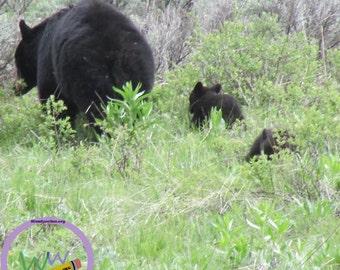 Black Bears (Yellowstone)