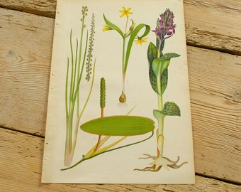Vintage antique botanical illustration D. Original book plate.Wild plants.Color illustrations flowers prints.Wall decor.Yellow purple green