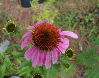 100 Organic Echinacea Seeds - Echinacea Purpurea - Purple Coneflower - Free Tracked Shipping - Beyond Organic - Open Pollinated - Non GMO