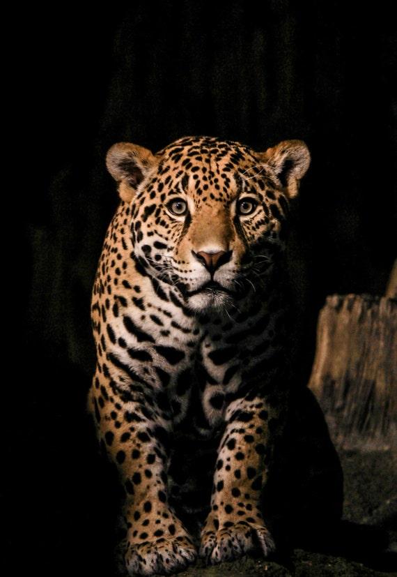 Jaguar Photograpy Big Cat Print Jaguar Color Photograph
