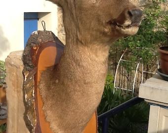Taxidermy roe deer mounted