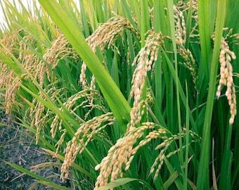 White Basmati Rice Seed - GMO - 200 seeds