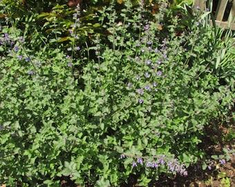Catnip (300 thru 9600 seeds) Nepeta Cataria Herbal Tea Bulk wholesale #3