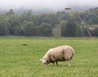 Pastoral Scotland Sheep in Field Photograph