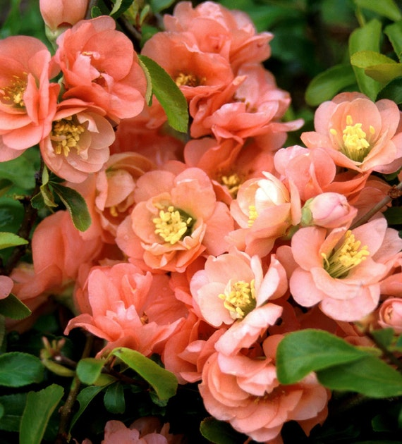 Japanese Flowering Quince Cameo 3 Pack By Growerssolution