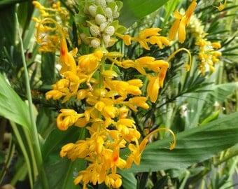 Globba Schomburgkii, 10 Seeds Dancing Girl Ginger, Garden Flowering Plants