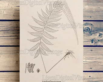 Download art, Fern print, Digital print art, Botanical print Vintage, Antique art, Botanical illustration, Fern, Botanicals, Art JPG PNG