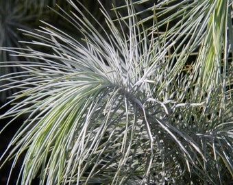 5 Seeds of Pinus maximartinezii, blue pine Mexico, rare, endangered, discover it while it's still time!