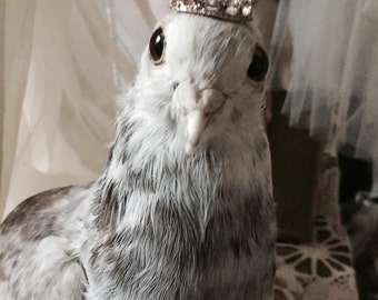 Vintage taxidermy pigeons, carrier pigeon, antique