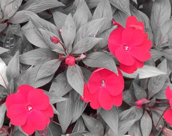 red impatiens on grey close