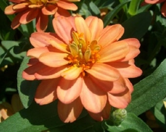 Zinnia Yoga Salmon Colored Flower Seeds / Annual 50+