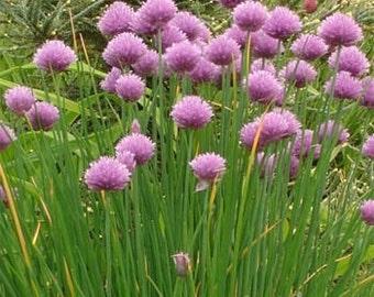 Chives Herb Flower Seeds/Allium Schoenoprasum/Perennial   100+