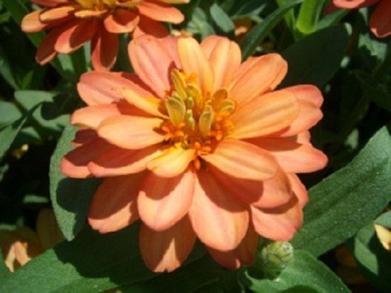 Zinnia Yoga Salmon Colored Flower Seeds Annual 50