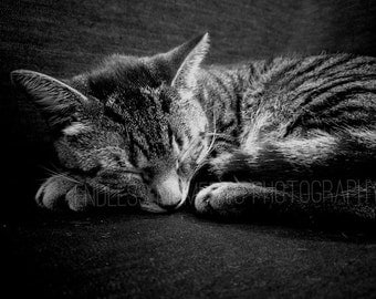 Tabby Cat, Animal Photography: 5x7 8x10 11x14 16x20 20x30