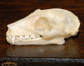 Real Fulvous Fruit Bat Skull