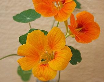 Nasturtiums in Vase