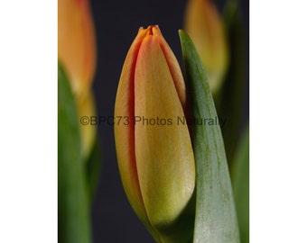 Tulips --Fine Art Floral Print 8x12, 12x18, 16x24, 20x30
