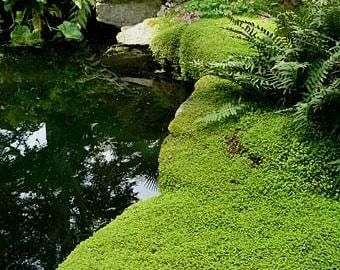 Small clump of Fairy Moss 6cm sq,Hexline,miniture fairy garden plants.