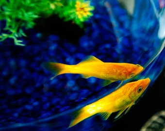 Reflection Golden Fish