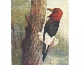 Red Headed Woodpecker, Vintage Postcard, 1908, Illustration, Birds, Antique Postcard, Paper Ephemera, Collectibles