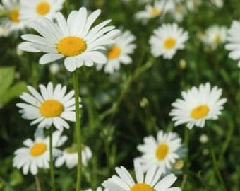 30+ Heirloom Daisy seeds