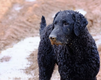 Twister Gets Muddy   Curly Coated Retriever