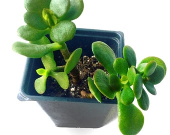 "5"" Mini Jade Succulent Plant with two stalks-Bonsai- Cactus-Succulent clipping-mini tree-office plant-gift for her-gift for him-cacti"