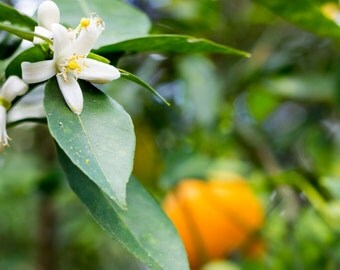 Orange Blossom Photography Print, Nature Photography, Florida Oranges, Flowers