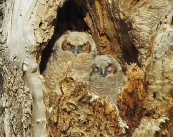 Great Horned Owl Siblings - 8 x 10 Photo