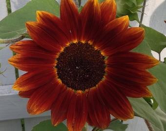 Helianthus annuus 'Cinnamon Sun' 10 Seeds