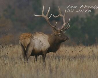 Proud Bull Elk     #d-312