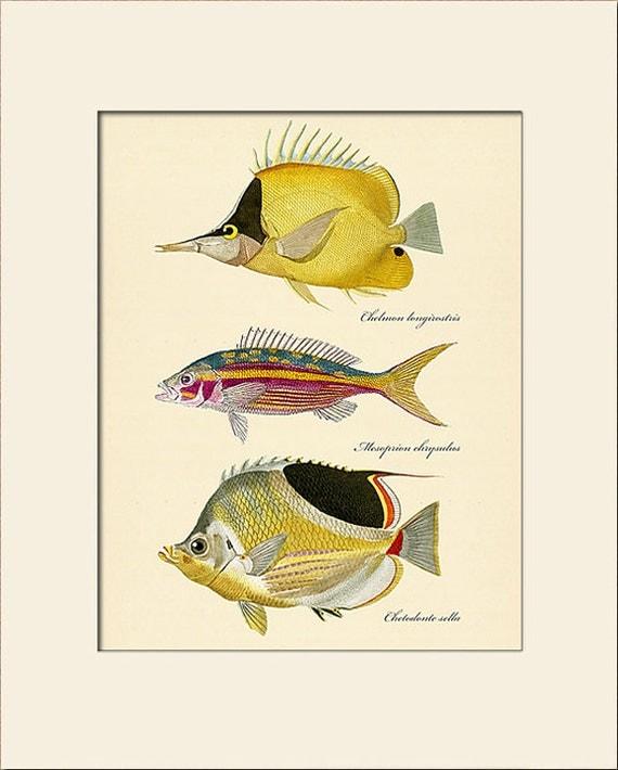 Vintage Fish Print #102, Art Print with Mat, Natural History Illustration, Beach House Wall Art, Nautical Art, Sea Life Prints, Wall Decor