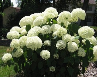 Panicle Hydrangea 10 Seeds
