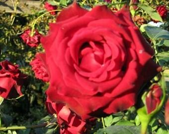 Rose, OR - PRINT