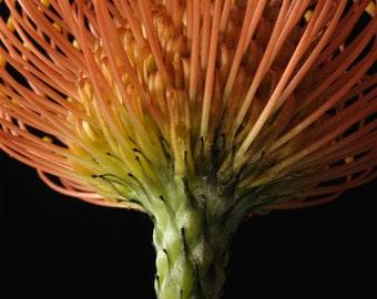 Protea - Flower still life  fine art photography
