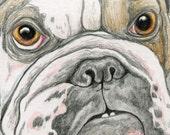 ACEO ATC English Bulldog Drawing Original Dog Art-Carla Smale