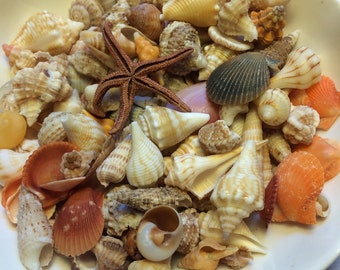 Collection Of Over 100 Mini Baby Tiny Seashells - Beach - Wedding- Crafts