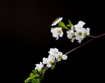 Cherry Blossoms in Black - 5 x 5 Photograph Print