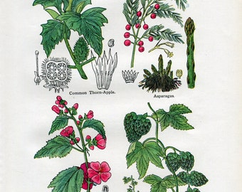 Antique Print of Medicinal and Culinary Herbs, Marshmallow, Asparagus, Thorn Apple and Hops