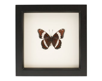 White Admiral Butterfly Taxidermy Display