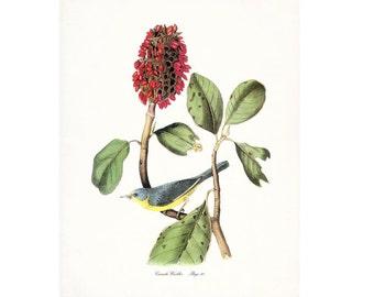 Audubon Vintage Bird Print,  Giclee Print, Canada Warbler