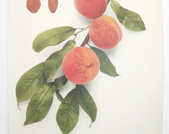Blood Cling Peach Print 1917 Antique Peach Print, Vintage Color Print Peaches, Antique Fruit Print, New Home Gift for Couple, Gift Under 20