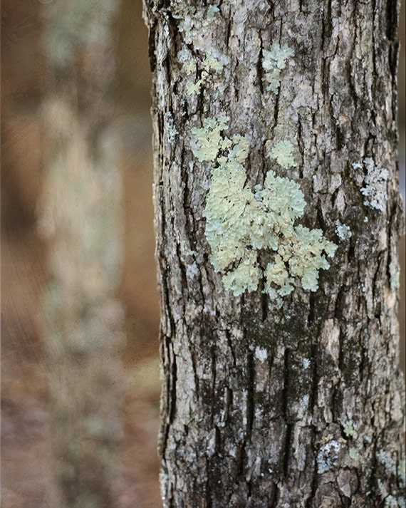"Woodlands Nature Photograph ""Woodlands"" Print Tree Earth Tones Bark Moss Green Turquoise Natural. 8x10, 11x14, 16x20, 20x24, 24x30, 24x36"