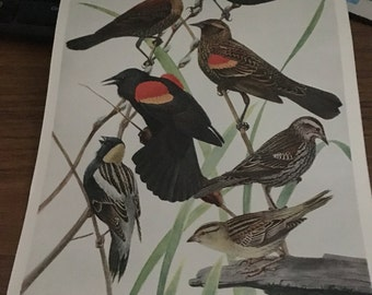 Circa 1915 Plate 73 red winged blackbird bobolink rusty blackbird print image 7 x 11 approx. great image 101 years old. Would look great fra