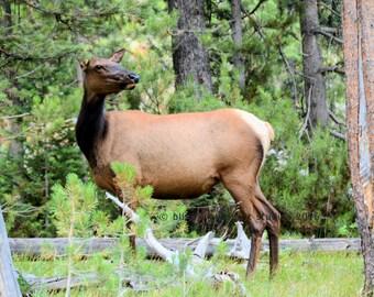 Elk Photography, Wildlife Photography, Woodland Cabin Decor, Fine Art Photo
