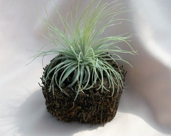 Airplant arrangement in tree fern pot features a Magnusiana airplant