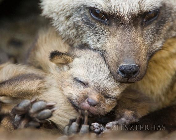 BABY FOX SNUGGLE Photo Print, Mom and Baby Animal Photography, Wildlife Photography, Safari Nursery Art, Bat-eared fox, woodland nursery art