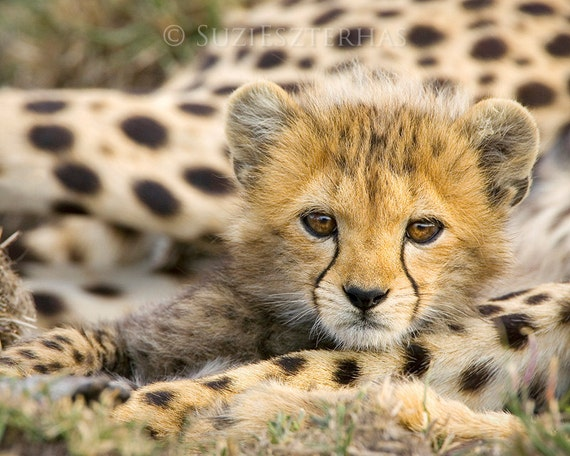 Baby Cheetah Photo, Baby Animal Photography, African Wildlife, Nursery Print, Baby Nursery Decor, Safari Nursery Art Print, Cheetah Cub, Cat